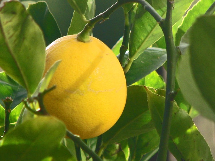 1200px-Meyer_Lemon